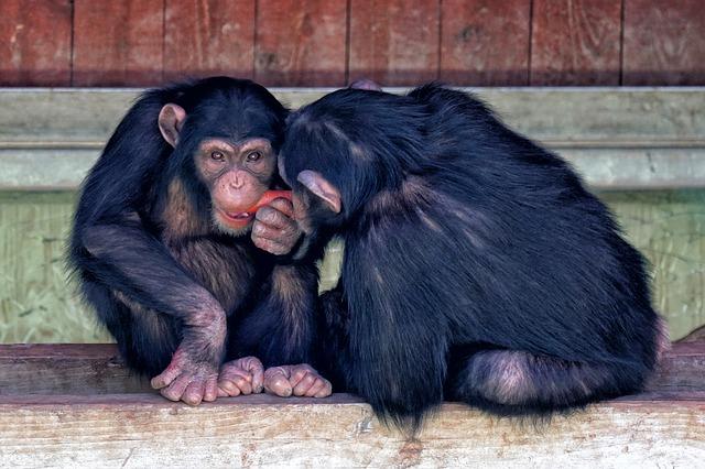 dieta scimpanzé